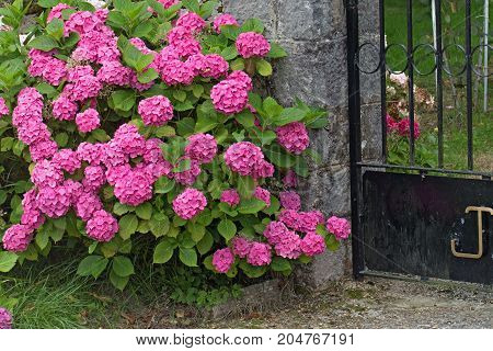 Pink and lilac hydrangea. The blossoming bushes close up about a fragment of an iron lattice of a fence