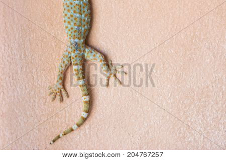 tail of Tokay Gecko on the wall indoor