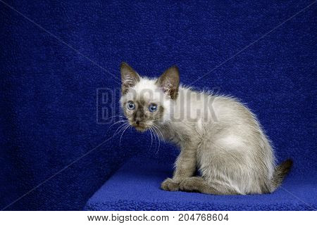 A siamese blend feral kitten hunches over looking nervous. His whiskers stand out against a blue background.
