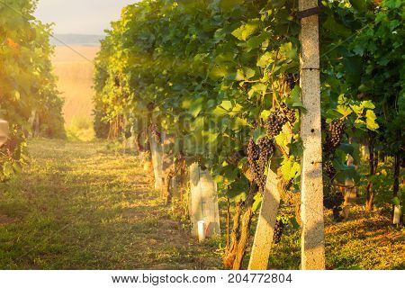 Vineyards In The Southern Moravia