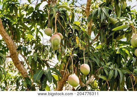 View Of A Tree With Mangoes, Vinales, Pinar Del Rio, Cuba.