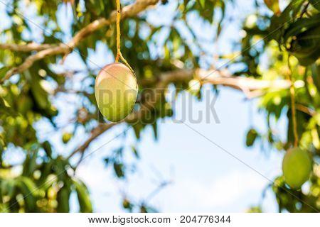 Fruits Of Mango Against The Sky, Vinales, Pinar Del Rio, Cuba. Close-up.