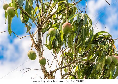 A View Of The Trees With Mangoes, Vinales, Pinar Del Rio, Cuba.