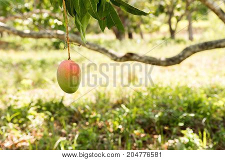 Mango On A Tree Branch With A Blurred Background, Vinales, Pinar Del Rio, Cuba. Close-up.