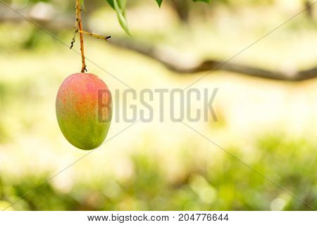 Mango On A Tree Branch With A Blurred Background, Vinales, Pinar Del Rio, Cuba. Close-up. Copy Space
