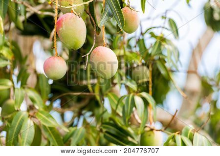 Fruits of mango on a branch of a tree with a blurred background Vinales Pinar del Rio Cuba. Close-up