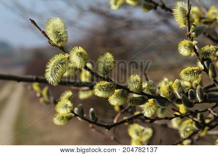 Spring / Flowering Willow Bush / Blossoming willow