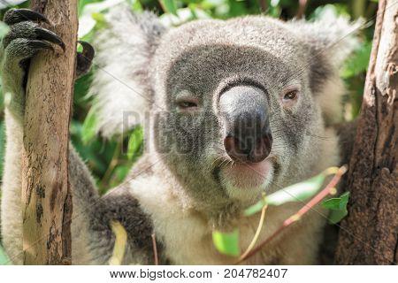 Koala Looking At The Camera
