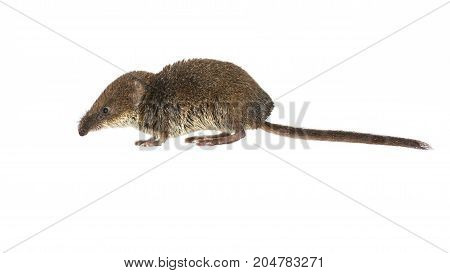Pygmy Shrew On White