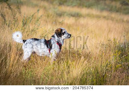 Cute white and black dog puppy with red collar in standing in yellow grass, copy space