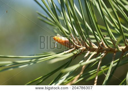 View of pine branches with young buds and drops of dew . mountain pine
