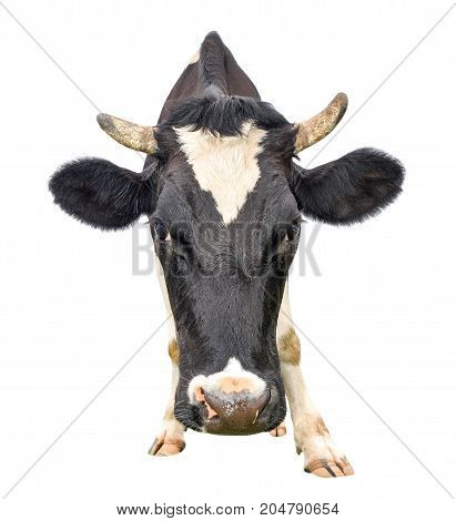 Funny cute cow isolated on white. Looking at the camera black and white curious cow close up. Funny cow muzzle close up. Farm animals.