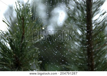 Dew drops on the web.View pine branches with drops of dew . mountain pine