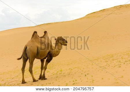 Double hump bactrian camel walking up the sloping Khongor Els sand dunes in the Gobi Desert in Mongolia