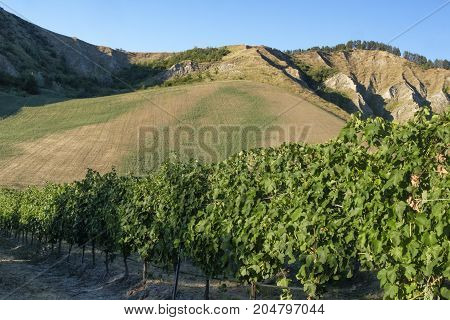 Country landscape between Riolo Terme and Brisighella (Ravenna Emilia Romagna Italy) at summer. Vineyards