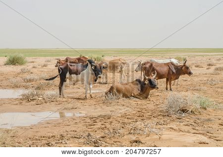 Mauritanian cattle with bulls and cows in the Sahara desert at waterhole, Mauritania, North Africa.