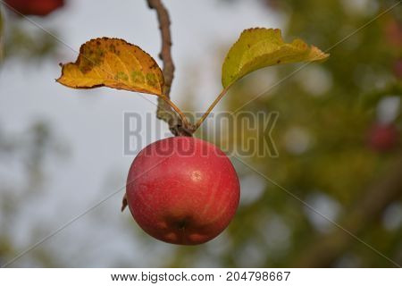 Lonely red apple hanging on the branch