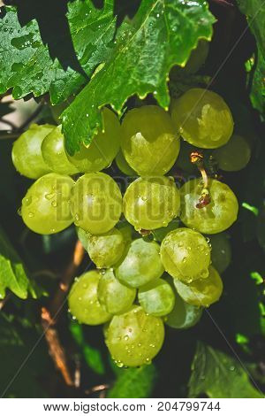 A bunch of green or white grapes after rain with water drops fresh