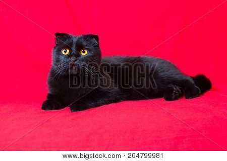 Black Lop-eared Cat Lies On A Red Background
