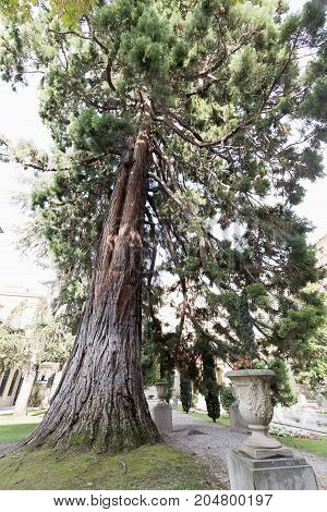 The Sequoia Of The Garden Of The Palacio Of Navarra.