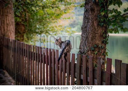Domestic cat walking on wooden fence river background