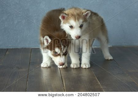 Two blue-eyed copper and light red husky puppies on wooden floor and gray-blue background