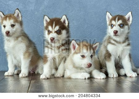 Four blue-eyed copper and light red husky puppies on wooden floor and gray-blue background