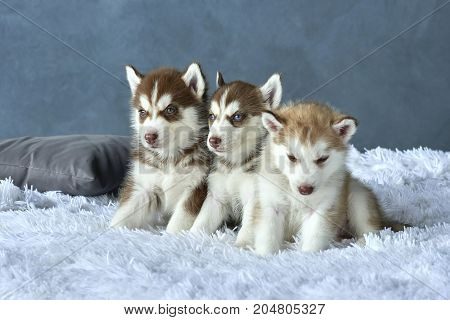 Three blue-eyed copper and light red husky puppies lying on white blanket