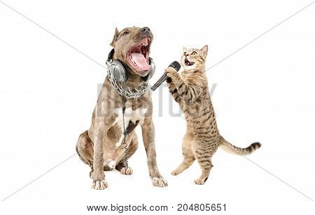 Duet of pitbull and cat Scottish Straight singing together, isolated on a white background