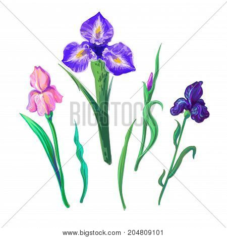 Vector set with outline purple, lilac and yellow Iris flower, bud and leaves isolated on white background. Ornate flowers for spring or summer design, greeting card with Irises in contour style