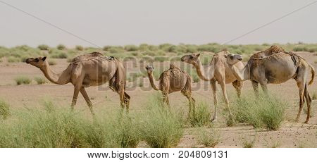 Group of camels in the desert Sahara in Mauritania, North Africa.