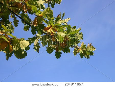 Beautiful Oak Tree In Natural Habitat