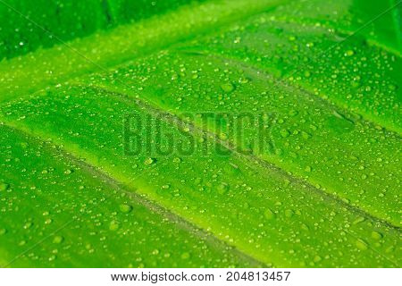 Close up of rain drop on natural green leaf background tropical foliage texture.