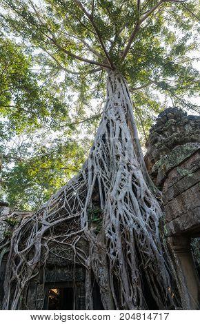 Big tree over Ta Prohm temple in siem reap cambodia