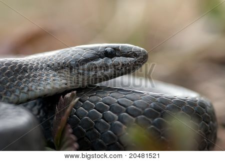 Grey Grass-snake