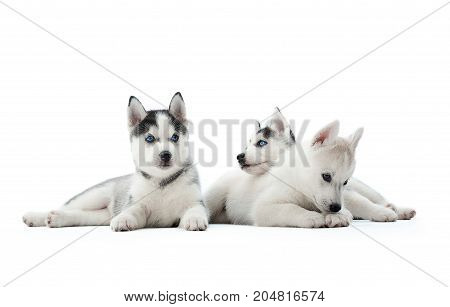 Three funny siberian husky puppies, sitting on floor, interesting playing, looking away, waiting for food. Carried dogs like wolfs with gray and white color of fur and blue eyes. White background.