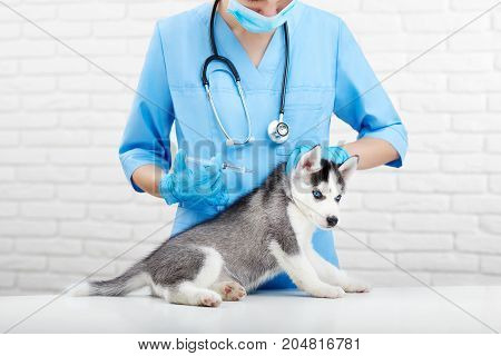 Crop of female doctor in blue uniform holding little puppy husky dog with blue eyes, doing injection in neck with prick. Professional veterinarian caring about little dog, like wolf. Vet clinic.