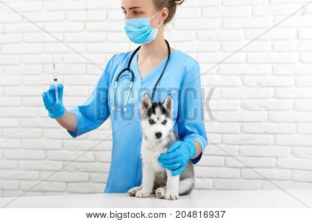Crop of female veterinarian in hospital holding by hands, caring, doing injection by little husky dog. Doctor in white with little puppy with gray fur, blue eyes. Caring about pets. Modern vet clinic.