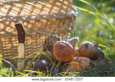A lot of boletus mushroom near woven basket and knife in forest, horizontal