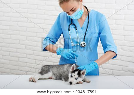 Cute puppy of husky dog with blue eyes, lying on table in modern vet clinic, professional veterinarian doing injection with prick. Female doctor in blue uniform caring about puppy with blue eyes.