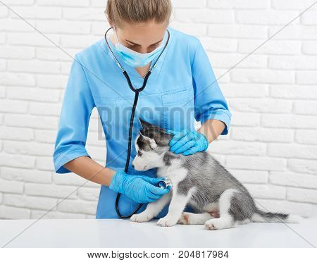 Portrait of young female veterinarian listening heart beat, caring about husky dog, like wolf with blue eyes.  Doctor in blue uniform holding little puppy husky, who sitting on table. Vet concept.