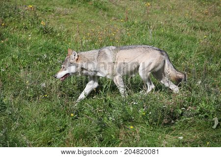 Portrait of a olf in the nature