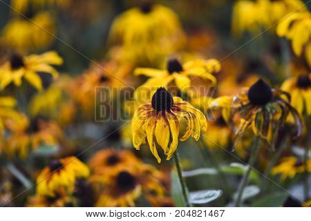 Yellow coneflowers blooming in garden summer time early autumn.