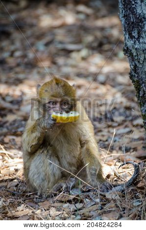 Young berber monkey eating discarded piece of honey melon in cedar forest of Middle Atlas mountains, Morocco, North Africa.