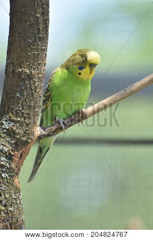 Pretty colorful parakeet sleeping in a tree.
