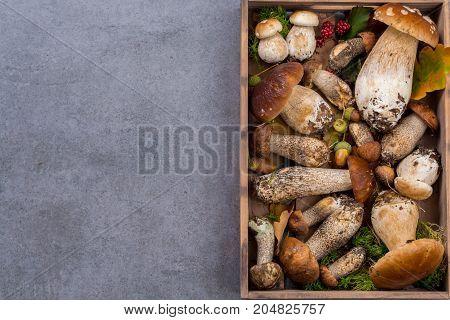 Boletus Edulis, Cepe, Porcini Mushrooms Unwashed On Gray Concrete Background Copy Space