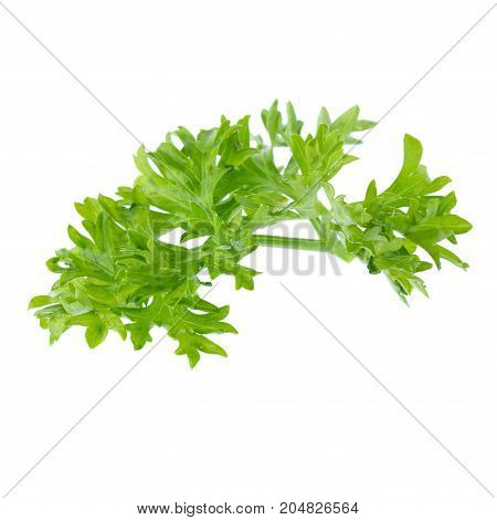 Fresh Branch Of Green Parsley Natural Food Isolated On White Background