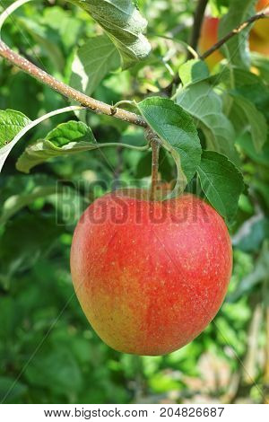 One Big Red Ripe Apple On The Apple Tree, Fresh Harvest Of Red Apples, Seasonal Works In Orchard, Fr