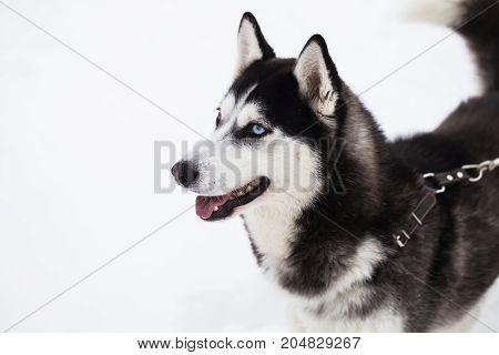 Beautiful Siberian Husky dog in winter forest