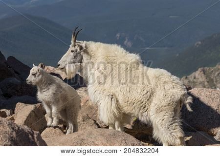 a mountain goat nanny and her kid on Mount Evans Colorado